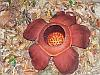 Rafflesia_the_biggest_flower_in_the_world_(Khao_Sok_NP)